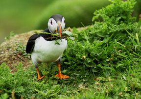 Lunga Puffin by George Russell