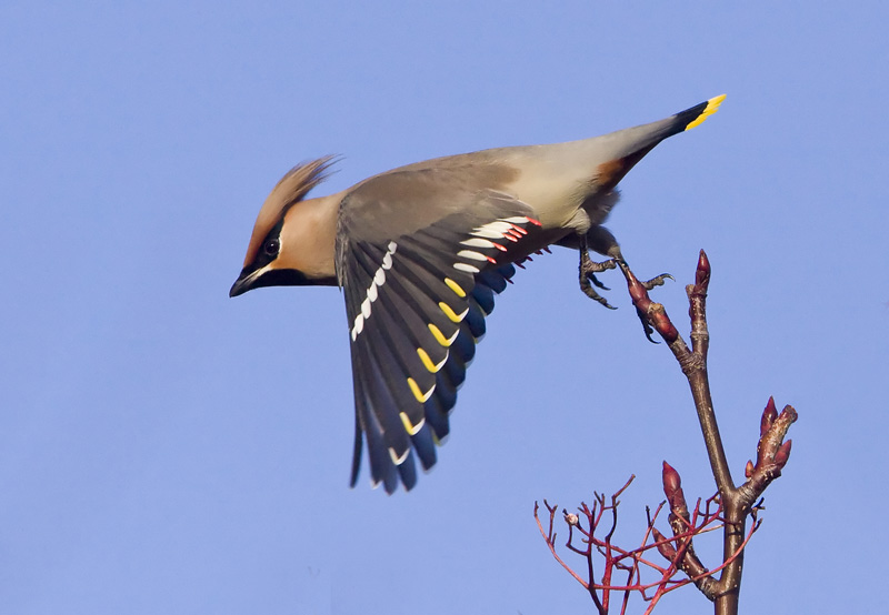 Waxwing by Ron McCombe